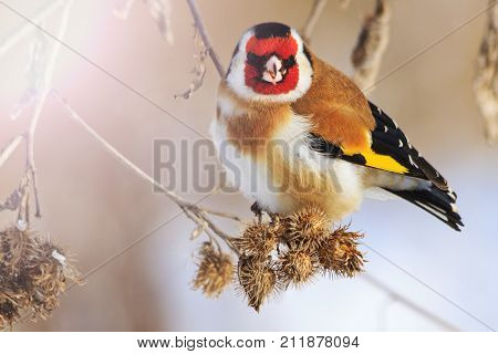 goldfinch bird with a red mask , wildlife, winter survival, cold and frost