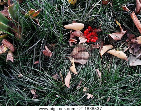 texture of autumn foliage with grass and rowanberry top view