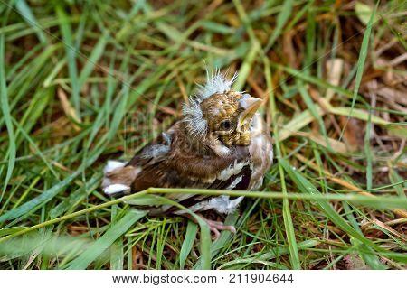 nestling thrush chick fell out of the nest