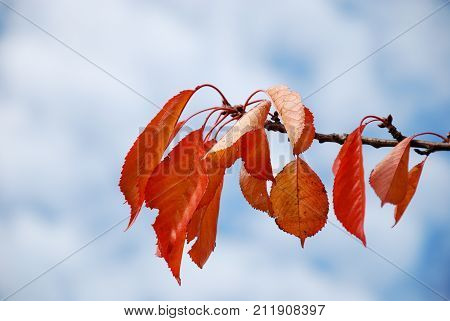 Reddish colored leaves on a cherry tree twig