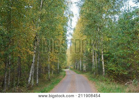 Autumn colors by a gravel road through a birch tree forest