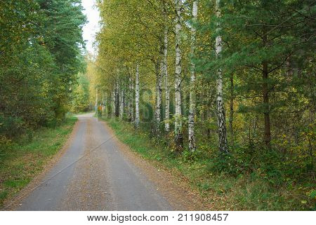 Fall season colored dirt road with beautiful birch trees at roadside