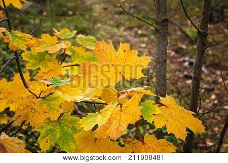 Group of fall season colored maple leaves