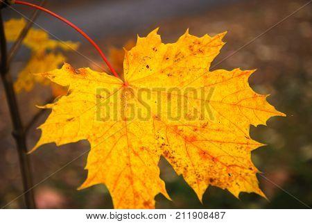 Single beautiful fall season colored maple leaf