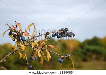 Ripe sloe berries on a twig with fall season colored leaves