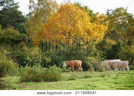 Cattle walking in a beautiful deciduous forest by fall season