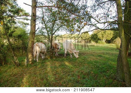 Herd of grazing cattle in a bright forest at fall season
