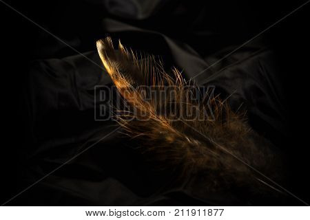 Pheasant's feather in a gentle light against a black background