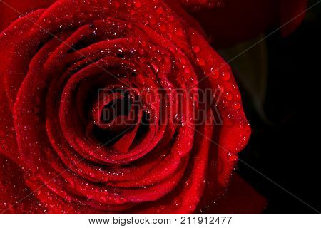 Beautiful petals of red rose flower close up
