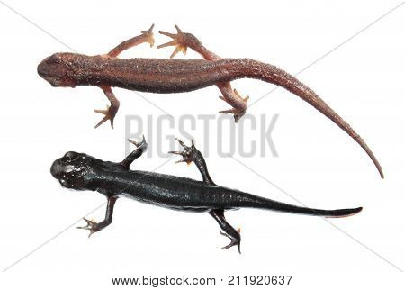 Two different species of newts isolated on white background. Common newt (Lissotriton vulgaris) and Japanese fire belly newt (Cynops pyrrhogaster)