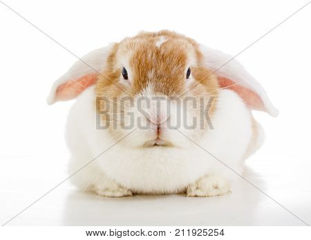 Easter bunny rabbit lop photo. Cute lop eared orange rabbit. White eared split bunny rabbit on isolated white background. Cute.