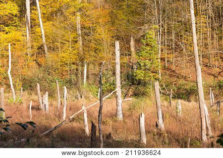 dead white tree trunks in natural deforestation area and living trees with colorful leaves in background as contrast and ecosystem and habitat for wildlife diversity