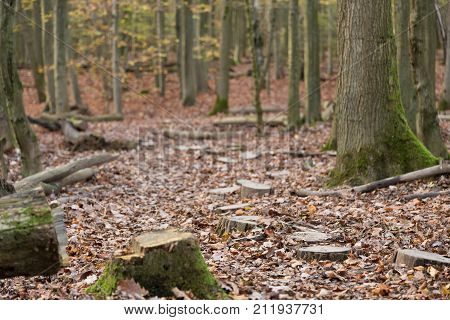 winding path made of tree stomps leading into the forest