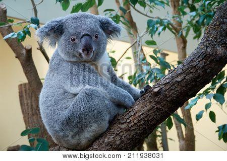 Cute marsupial bear of a koala sitting on a tree.
