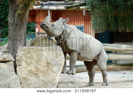 One rhino in the zoo climbs on the rocks in the autumn.