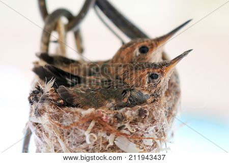 Newly Hatched Hummingbird Siblings Sit in Nest
