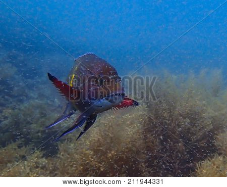 Colorful Snapper Swims Above Reef in Cloud of Shrimp Spawn
