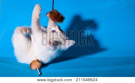 small kapaty white kitten is played with a toy mouse on a blue background isolated