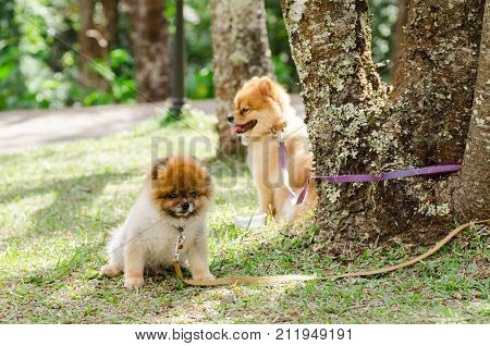 Pomeranian dog is bind with tree on green grass