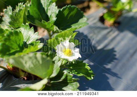 Strawberry flower blossom in a strawberry field