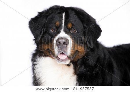 Dog breed Bernese Mountain Dog
