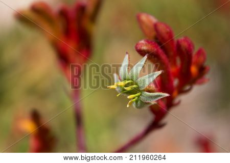 Amazing close up of a fuzzy flowering Kangaroo Paw or anigozanthos plant.