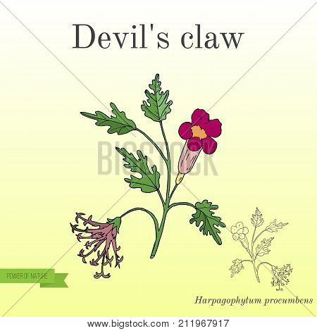 Devil s Claw Harpagophytum procumbens , or grapple plant, wood spider. Hand drawn botanical vector illustration