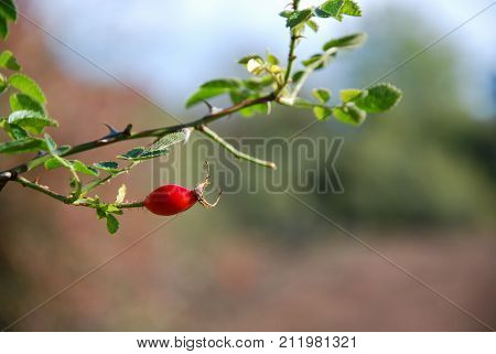 One ripe rosehip berry on a twig by a blurred background
