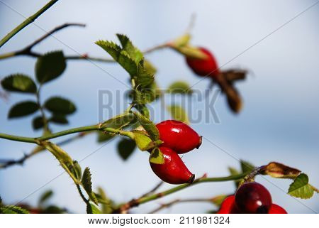 Shining red ripe rosehip berries on a twig by a blue sky