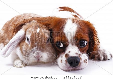 Dog and rabbit together. Animal friends. Sibling rivalry rabbit bunny pet white fox rex satin real live lop widder nhd german dwarf dutch with cavalier king charles spaniel dog. Christmas animals. Cute.