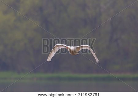 Front View Of Flying Mute Swan (cygnus Olor) With Trees