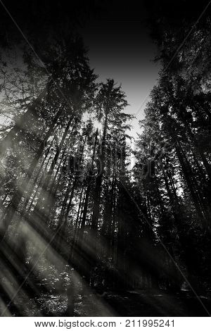Vertical Black And White Forest Landscape With Light Leak