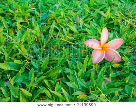 Plumaria , Frungipani Flower On The Lush Grass Field  Floor