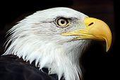 Profile of a North American Bald Eagle poster