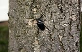 A common black ground beetle climbs a tree. poster