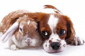 Dog and rabbit together. Animal friends. Sibling rivalry rabbit bunny pet white fox rex satin real live lop widder nhd german dwarf dutch with cavalier king charles spaniel dog. Christmas animals. Cute. poster