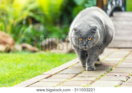Big Fat Overweight Serious Grey British Cat With Yellow Eyes Walking On Road At Backyard Outdoors Wi