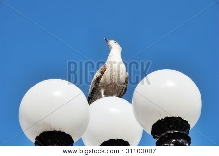Herring Gull Perched On Lamppost