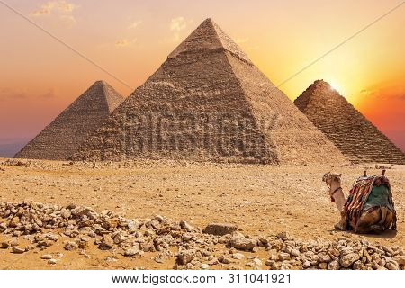Three Main Pyramids Of Giza And A Camel At Sunset, Egypt