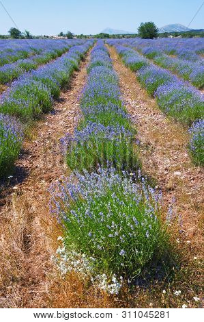 Lavender Field. Mountain Valley In  Dinaric Alps. Bosnia And Herzegovina, Republika Srpska, Zubacko