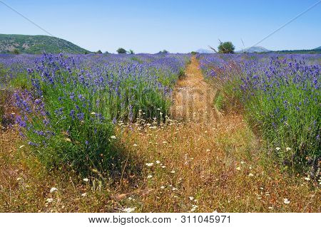 Lavender Field In Mountain Valley Of Dinaric Alps. Bosnia And Herzegovina, Republika Srpska