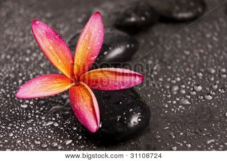 Pink Frangipani flowers on zen stones