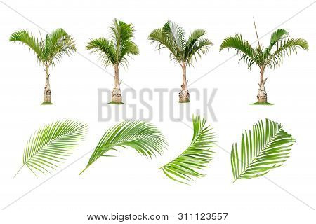 Coconut And Palm Trees, Palm Leaf Isolated Tree On White Background , The Collection Of Trees.large