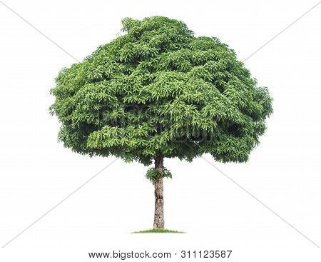 Isolated Mango Tree Isolated On White Background. Tropical Trees Isolated Used For Design, Advertisi