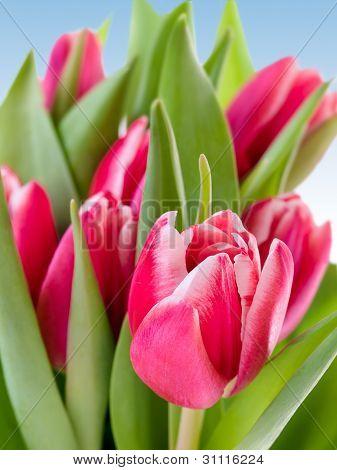 Tulips Over Sky