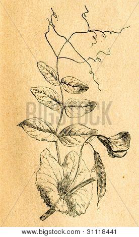 Kvist av ärt - gammal illustration av okänd konstnär från Botanika Szkolna na Klasy Nizsze, författare Jozef
