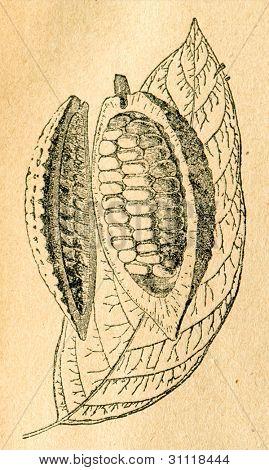 Cacao träd - blad och öppna frukt - gammal illustration av okänd konstnär från Botanika Szkolna na Klasy