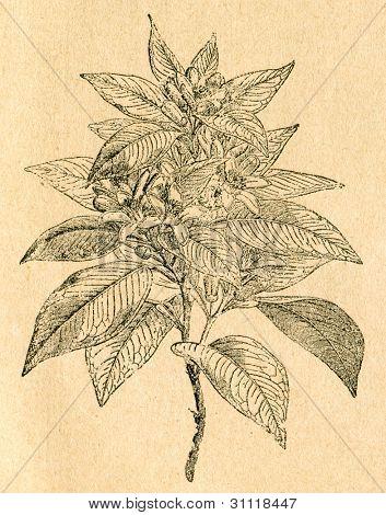 Blommande kvist av orange tree - gammal illustration av okänd konstnär från Botanika Szkolna na Klasy Niz