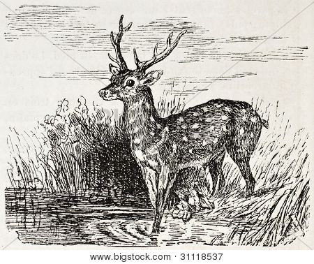 Chital old illustration (Axis axis). Created by Gerusez, published on L'Illustration, Journal Universel, Paris, 1863