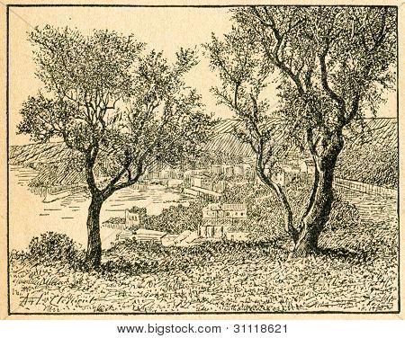 Olivträd - gammal illustration av okänd konstnär från Botanika Szkolna na Klasy Nizsze, författare Jozef